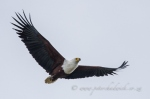 African fish eagle by wildlife and conservation photographer Peter Chadwick.jpg