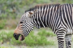 Cape Mountain Zebra by wildlife and conservation photographer Peter Chadwick.jpg