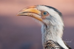 Yellow Billed Hornbill by wildlife and conservation photographer Peter Chadwick
