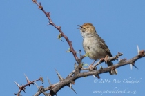 Desert Cisticola by wildlife and conservation photographer Peter Chadwick.jpg