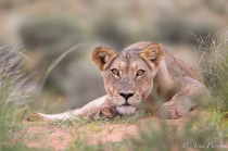 A Lioness eyes the photographer