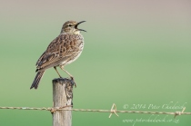 Agulhas Long-billed lark by wildlife and conservation photographer Peter Chadwick.jpg