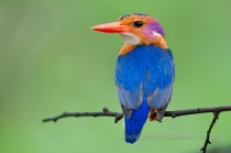 African Pygmy Kingfisher by wildlife and conservation photographer Peter Chadwick.jpg