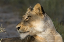 Lioness by wildlife and conservation photographer Peter Chadwick.jpg