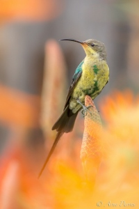 Malachite Sunbird | Bird Photography | ©ArnePurves