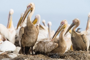 Great white pelicans nesting by wildlife and conservation photographer Peter Chadwick