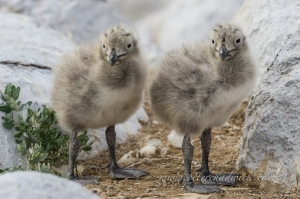 Kelp gull chicks by wildlife and conservation photographer peter Chadwick
