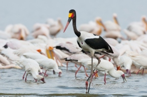 Hunting sadlle billed stork by wildlife and conservation photographer Peter Chadwick.jpg