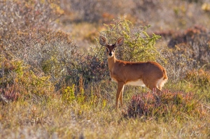 A Steenbok In Coastal Scrub | Namaqua National Park | ©Arne Purves