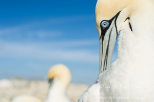 Preening Cape Gannets by wildlife and conservation photographer Peter Chadwick