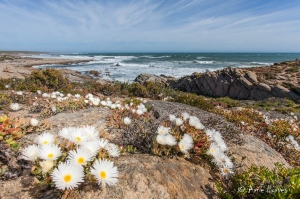 Namaqualand Coastline In Flower