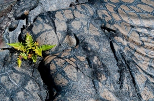 Fern growing in volcanic larva by wildlife and conservation photographer Peter Chadwick
