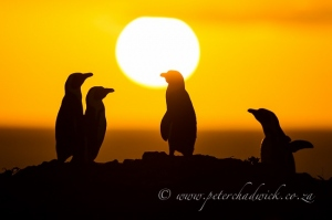 African penguins at sunrise by wildlife and conservation photographer Peter Chadwick.