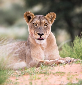 Lion | Aoub River Valley | Kgalagadi Transfrontier Park | Northern cape | south africa | ©Arne Purves