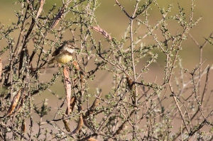 Black-Chested Prinia | Kgalagadi Transfrontier Park | Kalahari | @ Arne Purves | Bird Photography