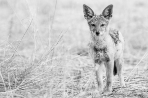 Black-backed Jackal Pup in the Kgalagadi