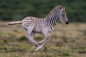 Burchelles Zebra foal running by wildlife and conservation photographer Peter Chadwick