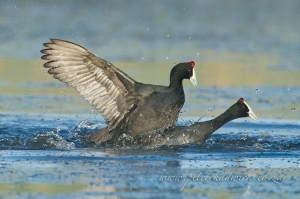Fighting Red-knobbed Coots by wildlife and conservation photographer Peter Chadwick
