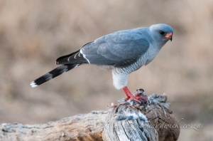 Gabar Goshawk and prey by wildlife and conservation photographer Peter Chadwick