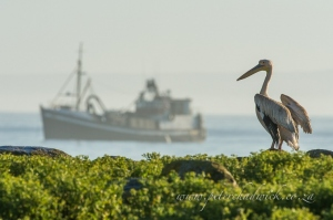 Great White Pelican and trawler by wildlife and conservation photographer Peter Chadwick