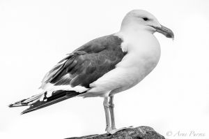 Kelp Gull On A Rock