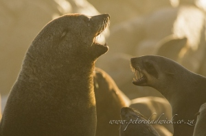 Cape Fur Seal fight by wildlife and conservation photographer Peter Chadwick.