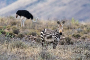 Cape Mountain Zebra and Ostrich by wildlife and conservation photographer Peter Chadwick