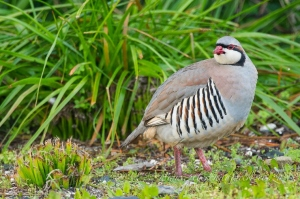 chukar partridge by wildlife and conservation photographer Peter Chadwick