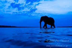 African Elephant_©PeterChadwick_AfricanConservationPhotographer.jpg