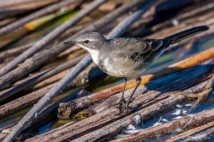 A Cape Wagtail Feeds Amongst Old Reeds | Rondevlei Nature Reserve | Bird Photography | © Arne Purves