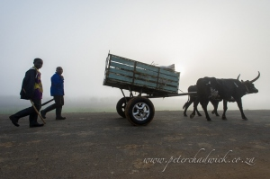 Cattle drawn cart with mag wheels by wildlife and conservation photographer Peter Chadwick
