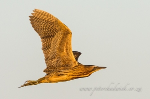 Eurasian Bittern in Flight by wildlife and conservation photographer peter chadwick.