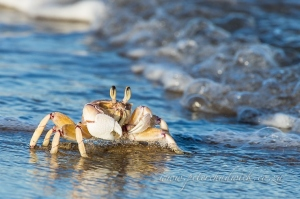 Ghost Crab by wildlife and conservation photographer Peter Chadwick.