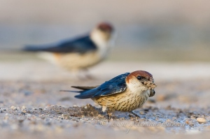 Nest building Greater Striped Swallow by Wildlife and Conservation Photographer Peter Chadwick.