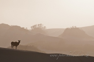 Eland in the dunes by wildlife and conservation photographer Peter Chadwick