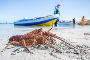 West Coast Rock Lobster season | ©Arne Purves