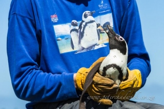 African penguin in the hand by wildlife and conservation photographer Peter Chadwick.jpg