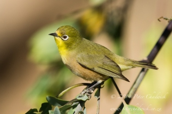 orange river white eye by wildlife and conservation photographer peter chadwick.jpg
