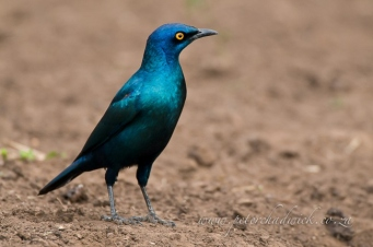 Cape glossy starling by wildlife and conservation photographer peter chadwick.jpg
