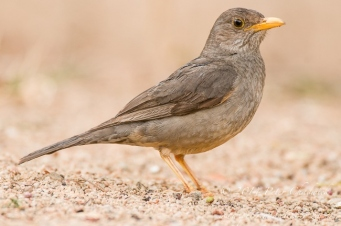 Karoo Thrush by wildlife and conservation photographer Peter Chadwick.jpg