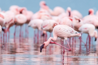 lesser flamingo flock by wildlife and conservation photographer Peter Chadwick.jpg