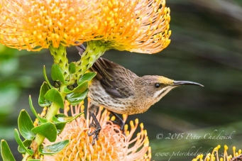 Cape Sugarbird_©peter chadwick_African Conservation Photography