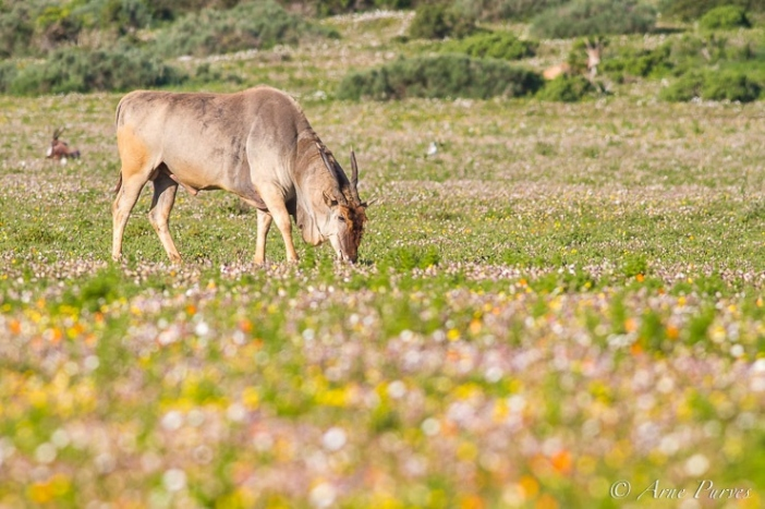 Eland Bull Grazing Amongst Spring Flowers | Postberg Section | West Coast National Park | Wildlife Photography | © Arne Purves