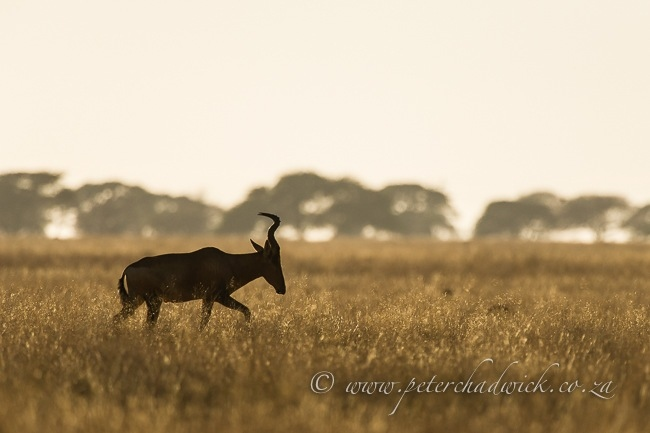 Silhoutted Red Hartebeest bull by wildlife and conservation photographer Peter Chadwick.