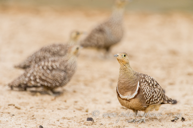 Namaqua sandgrouse by wildlife and conservation photographer Peter Chadwick