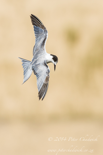Common Tern by wildlife and conservation photographer Peter Chadwick