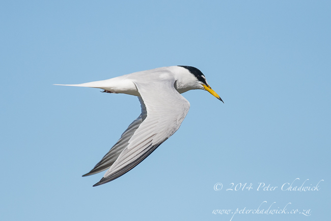 Little Tern by wildlife and conservation photographer Peter Chadwick