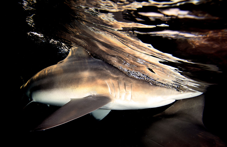 Black Tip Shark at Shark Park