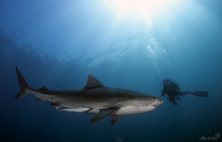 Tiger Shark and diver at Shark Park