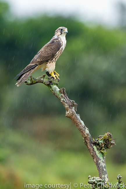 Lanner Falcon by wildlife and conservation photographer peter chadwick